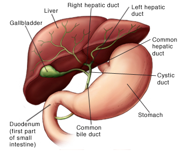 Anatomy of liver showing gallbladder, common bile duct, right hepatic duct, left hepatic duct, common hepatic duct, stomach, and duodenum (first part of small intestine).