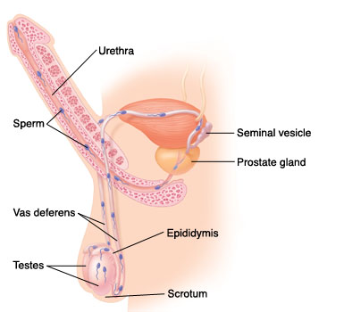 Side view of male reproductive system showing path of sperm.
