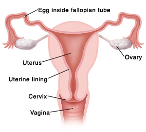 Cross section front view of vagina, cervix, uterus, uterine lining, fallopian tubes, ovaries, and egg inside fallopian tube.
