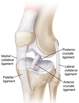 Three-quarter view of knee showing bones, ligaments, and tendons.