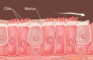 Cells with cilia and mucus on top. Arrows show mucus being swept along.