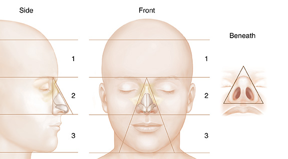 Front, side, and lower view of head showing nose cartilage in relation to facial proportions.