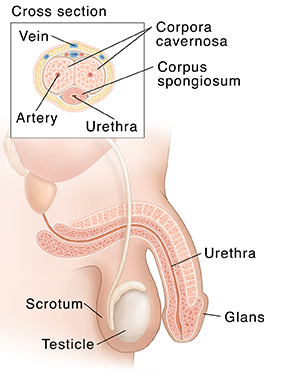 Side view of normal male reproductive anatomy with inset showing cross section of penis.