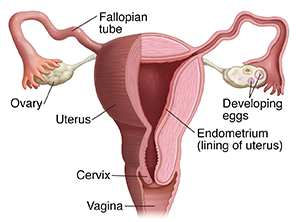 Front view of uterus, fallopian tubes, and ovaries.