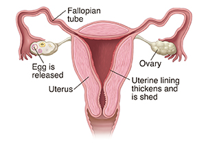 Front view cross section of female reproductive organs.
