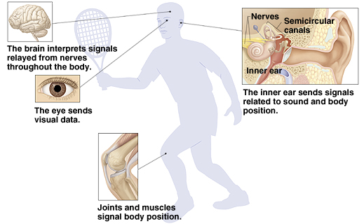 Outline of man playing tennis showing brain, eyes, and joints. Brain interprets signals relayed from nerves throughout body. Eye sends visual data. Joints and muscles signal body position. Closeup of inner ear showing nerves, semicircular canals, and inner ear. Inner ear sends signals related to sound and body position.